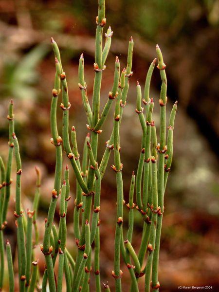 Ephedra viridis - Mormon Tea Hardiness Zone: 4 Height: 4
