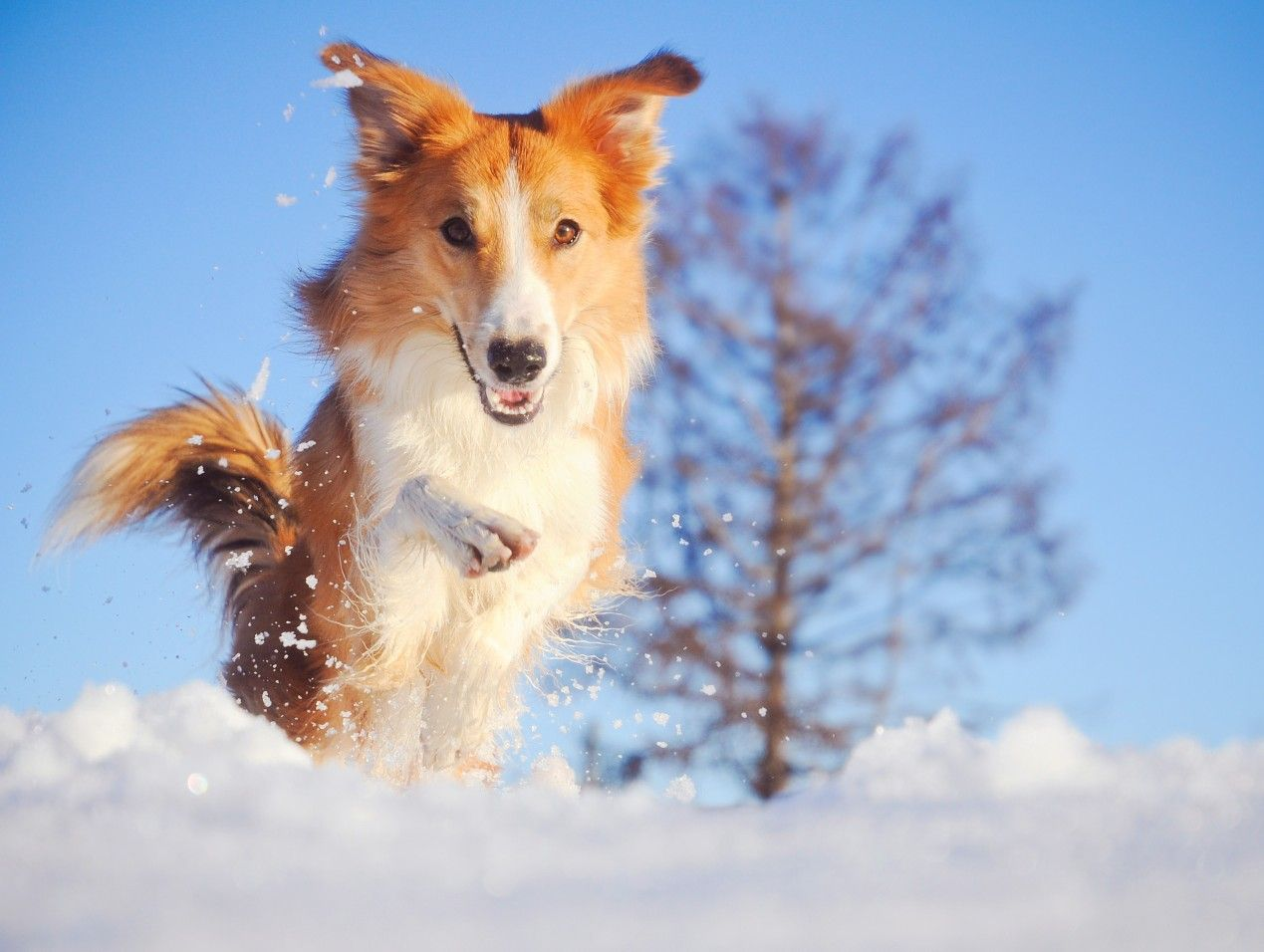Why Dogs Love The Cold And Playing In The Snow Https Flip It Nmoj8 With Images Pet Care Dogs Cheap Pet Insurance Dog Insurance