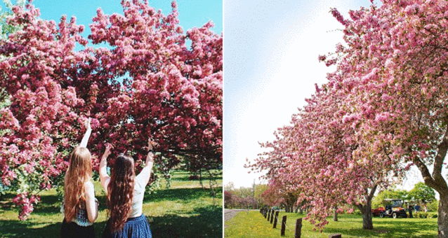 Here S Where In Ottawa These Gorgeous Cherry Blossom Trees Will Bloom Cherry Blossom Tree Cherry Blossom Blossom