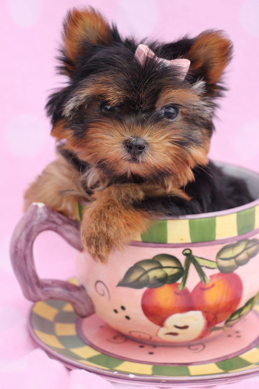 "Tea Cup Yorkshire Terrier ""Yorkie"" puppy Yorkshire"