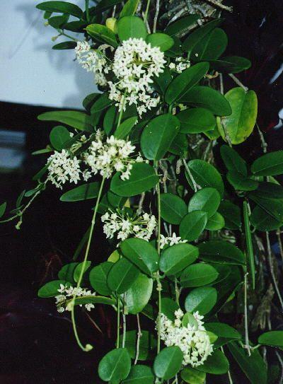 Hoya Australis Common Waxflower Rainforest Margins Nectar For