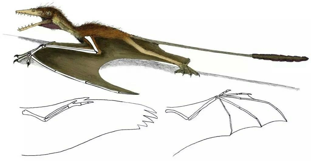 Pterosaur wing anatomy, demonstrated by the Jurassic form Sordes ...