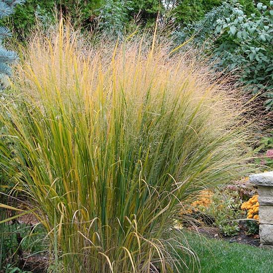 Top 20 perennials for your garden grasses autumn and for Tall red ornamental grass