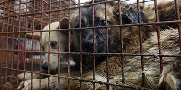 petition: Speak Out Against The Cruel Yulin Dog Meat Festival