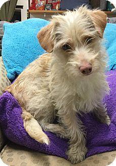 Phoenix Az Dachshund Border Terrier Mix Meet Floppy A Dog For