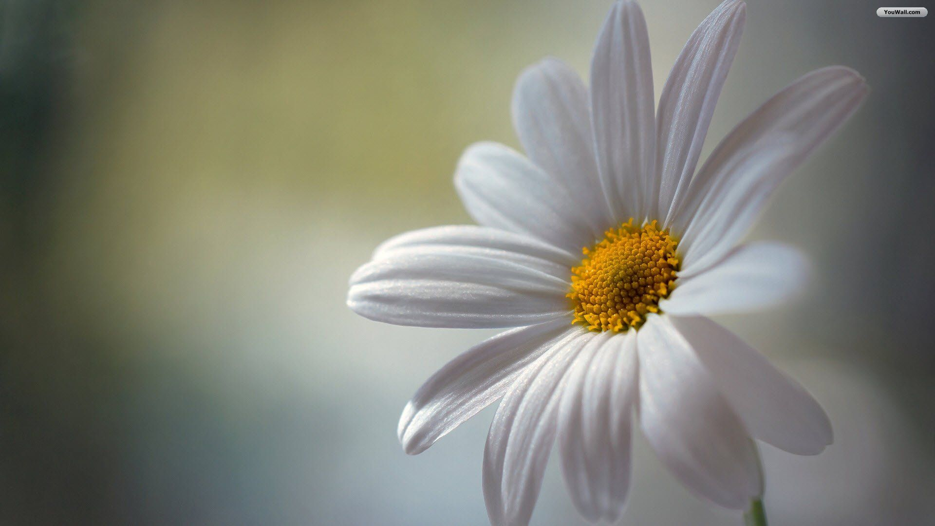 undefined daisy wallpaper (39 wallpapers) | adorable wallpapers