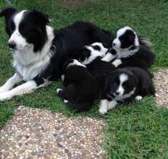Border Collie Purebred Pups Border Collie Puppies For Sale Esk
