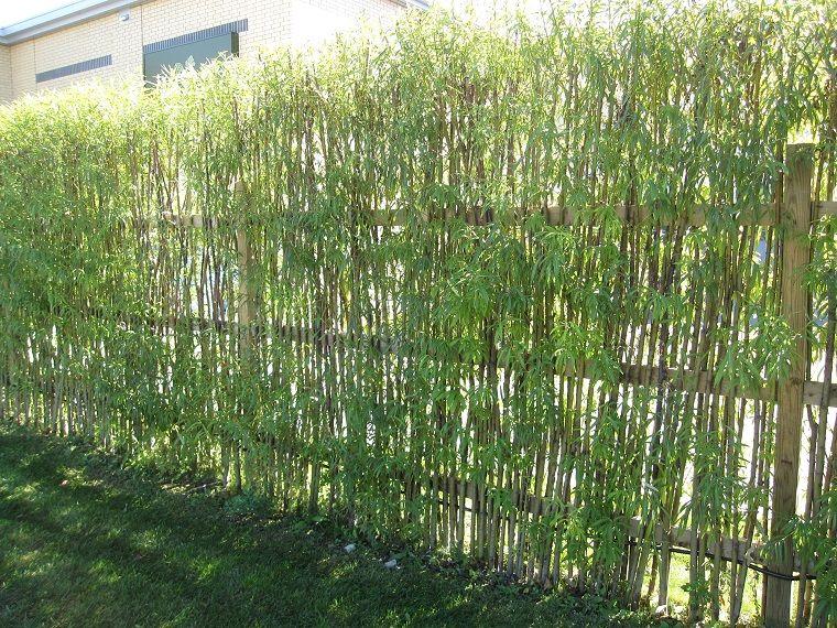 Piante Per Recinzioni Giardino.Schermatura Da Giardino Con Piante Di Bamboo Gardening Nel 2019