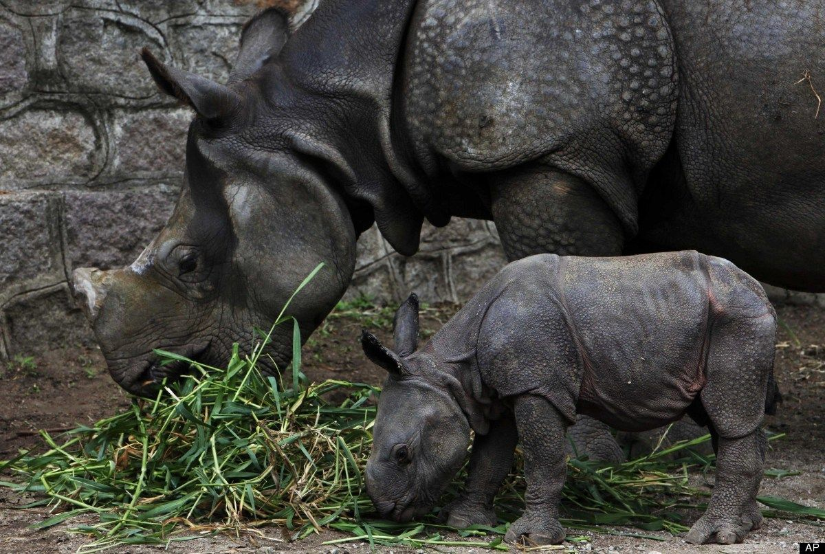A five and half year-old rhino stands with her four day-old calf at an enclosure at the Nehru Zoological park in Hyderabad, India, Monday, July 9, 2012. (AP Photo/Mahesh Kumar A.)