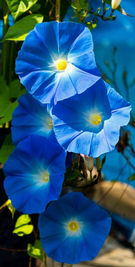 Climbing flowers - Morning Glories named Heavenly Blue ...