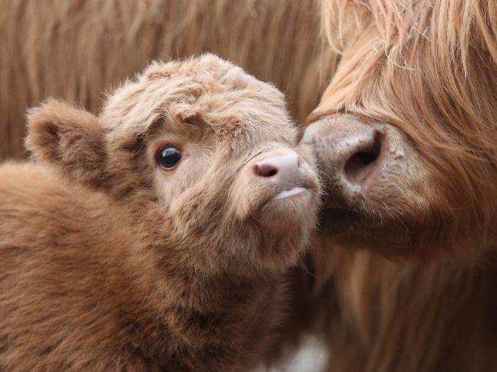 Bilderesultat for sad cow