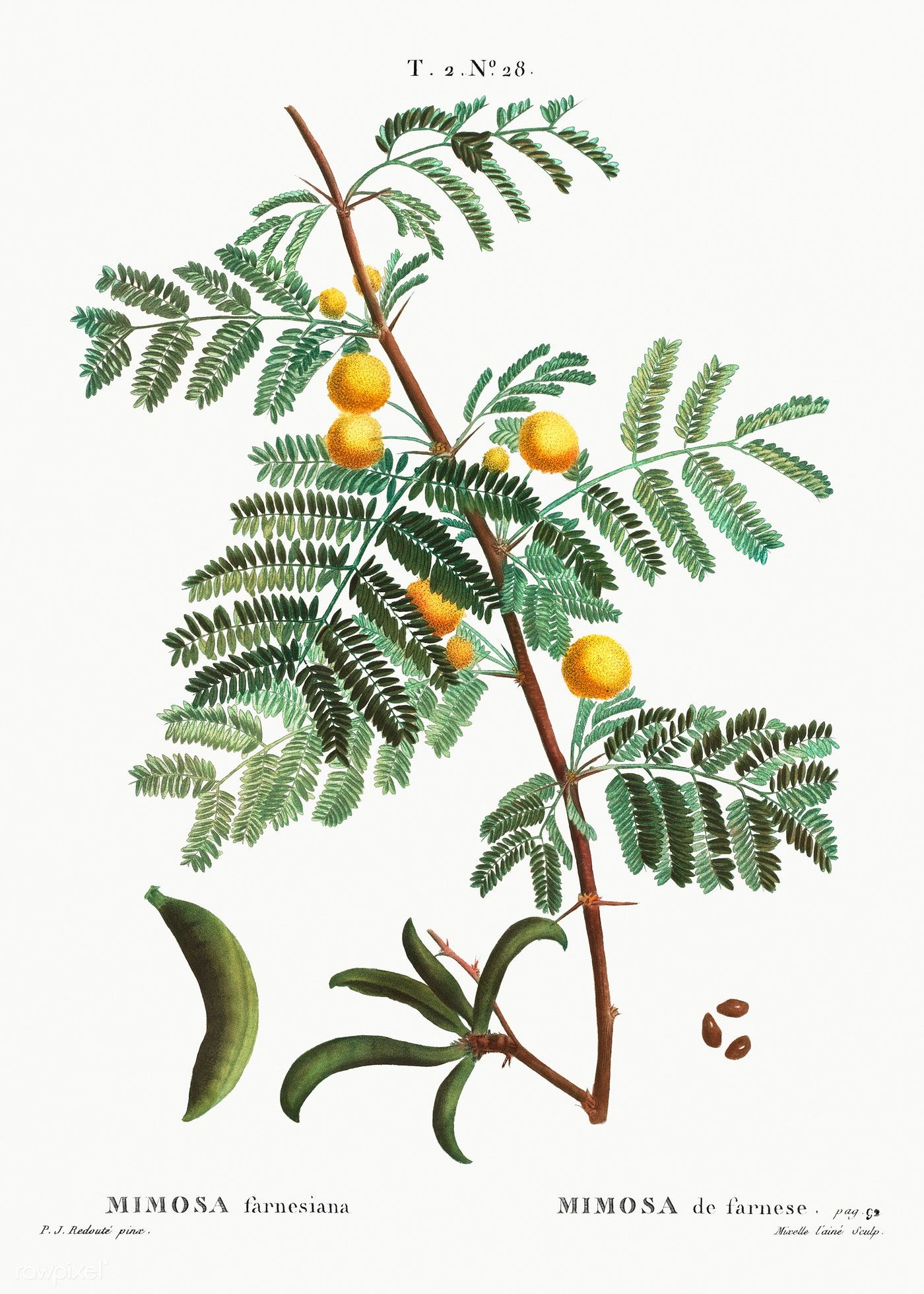 Sweet Acacia Mimosa Farnesiana From Trait Eacute Des Arbres Et Arbustes Que L Rsquo On Cultive En France En Pleine Te In 2020 Acacia Myrtle Flower Botanical Artwork
