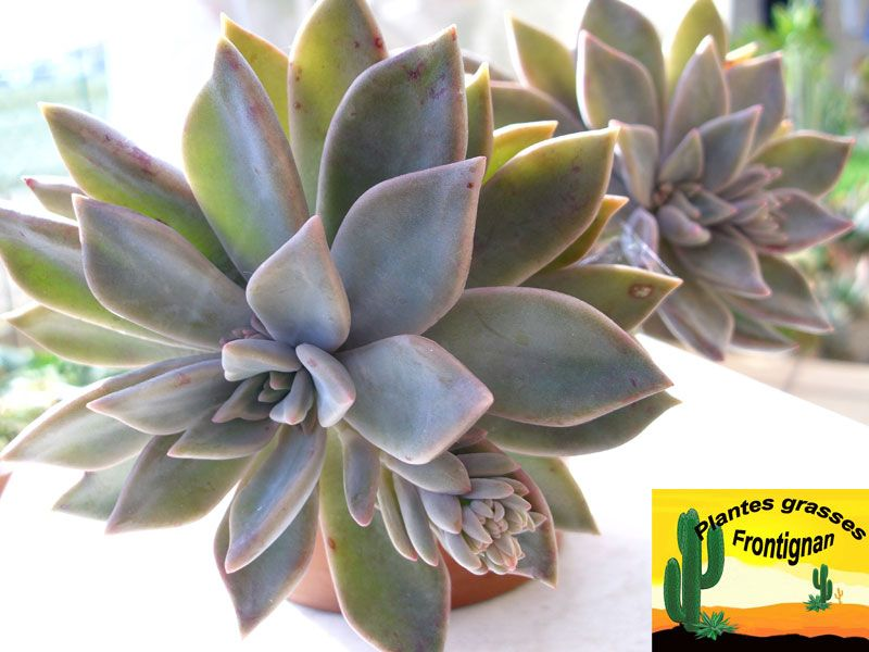 plante grasse rustique graptoveria 39 acaulis 39 lanscaping pinterest plantes grasses. Black Bedroom Furniture Sets. Home Design Ideas