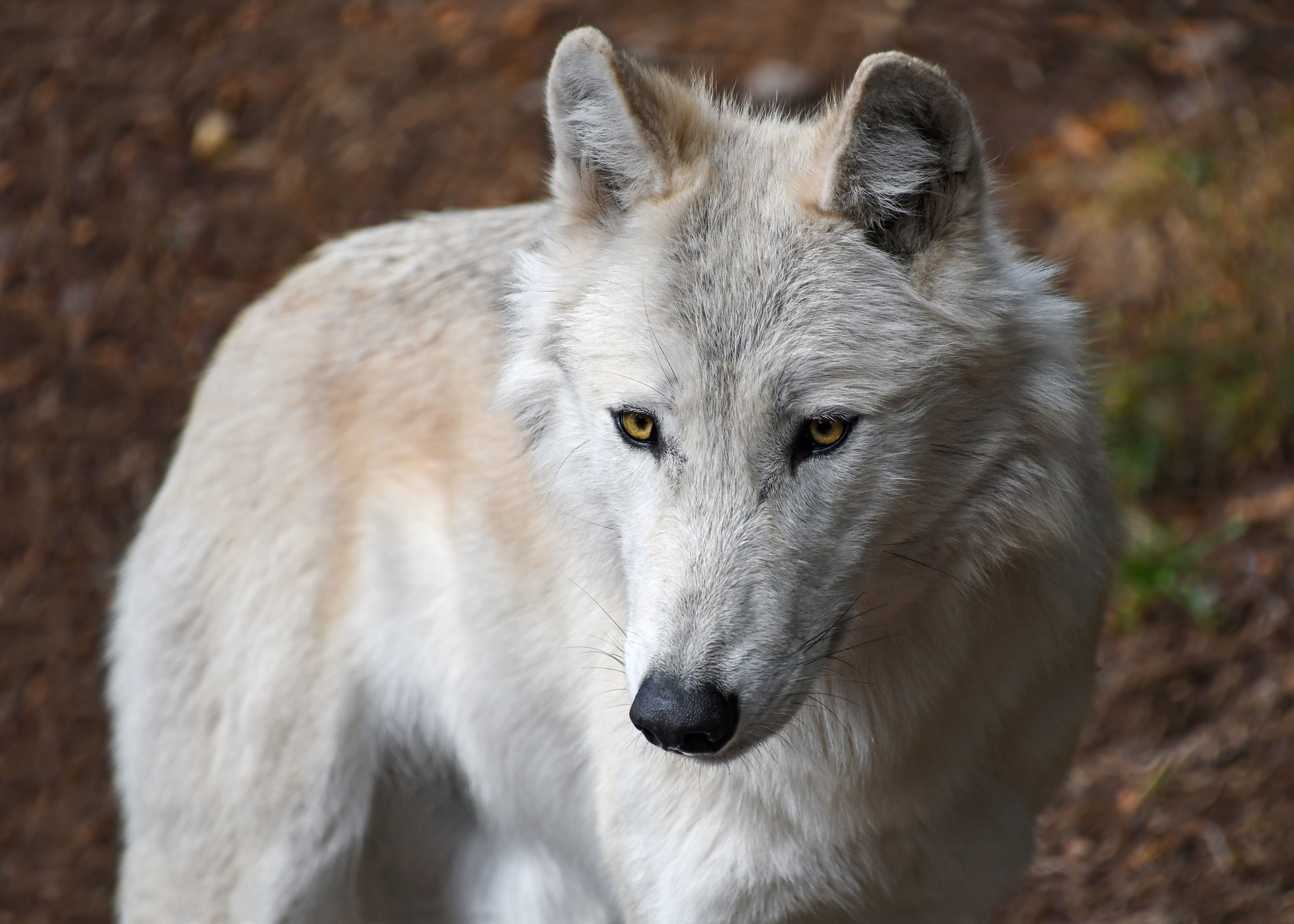 Pin By Fahad Baloch On Wolves Wolf Pictures Animals Wolf