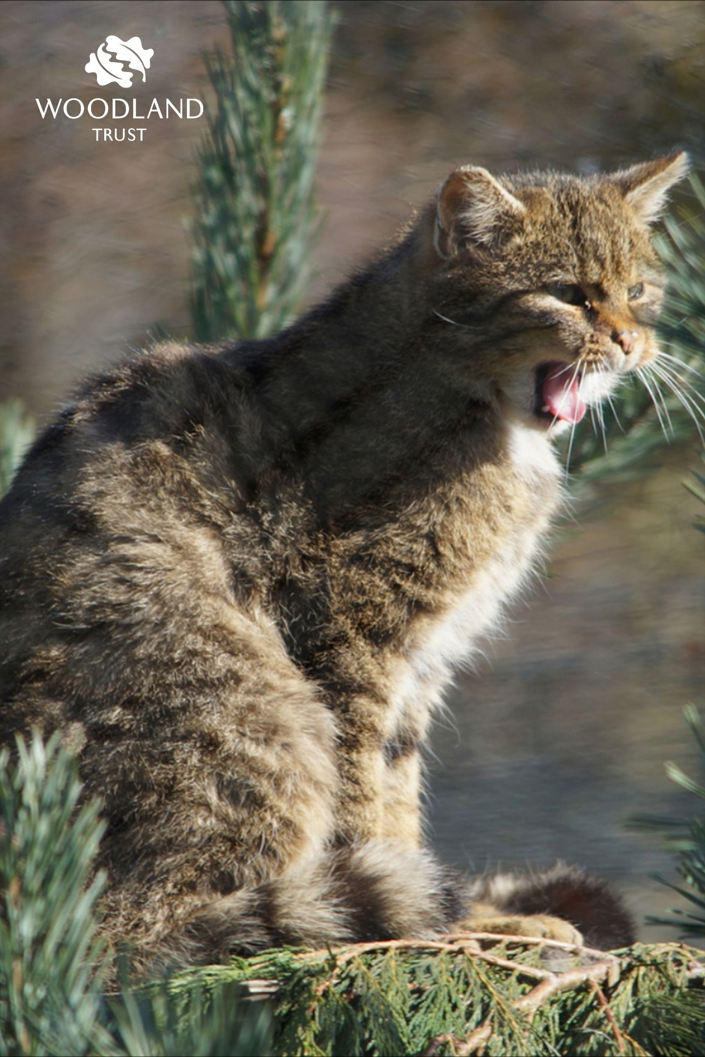 Scottish wildcat (Felis silvestris) fact file British