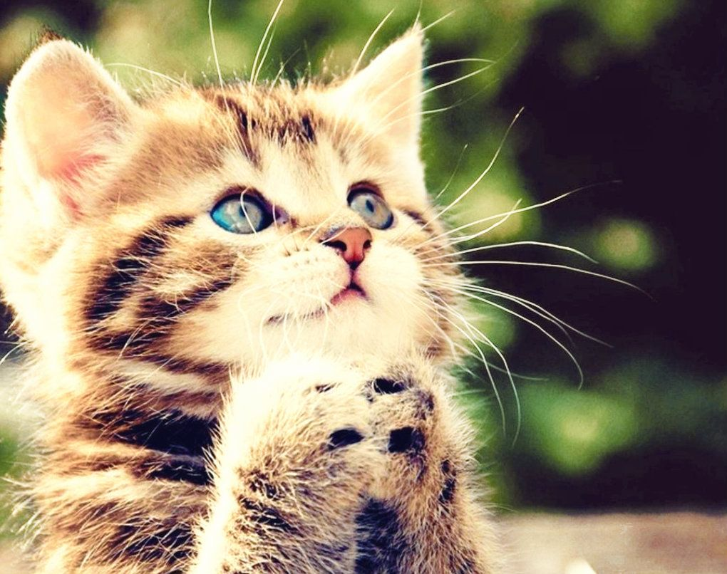 Praying Kitten Kittens Cutest Kitten Pictures Cute Animals