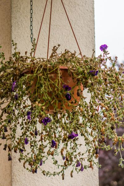 How To Fertilize Hanging Baskets To Keep Them Flowering All Summer!