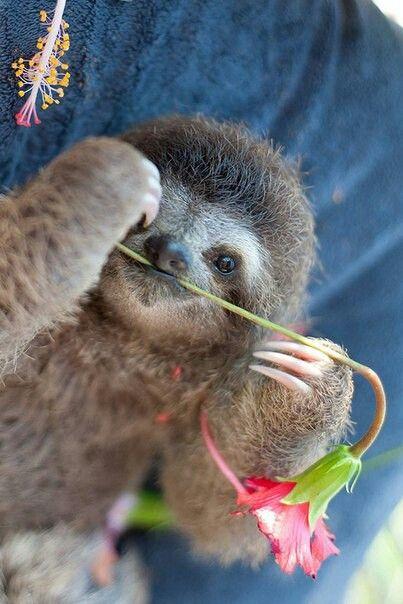 Sweet baby sloth #babysloth