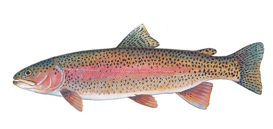 Rainbow Trout Fish Fish Rainbow Trout Fishing Rainbow Trout