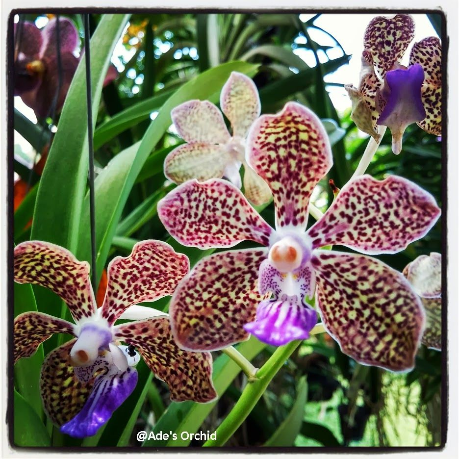 Vanda Mimi Palmer With Images Orchids Mimi Cattleya