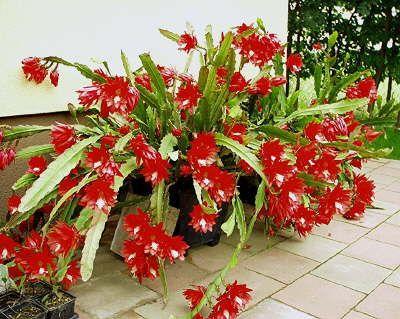 Epiphyllum Von Norbert Mehlf Kaktusgarten Orchidee Kaktus Schone Blumen
