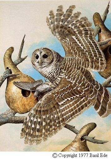Barred Owl by Basil Ede (b.1931)