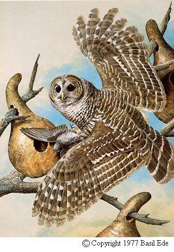 Barred Owl by Basil Ede (b.1931)