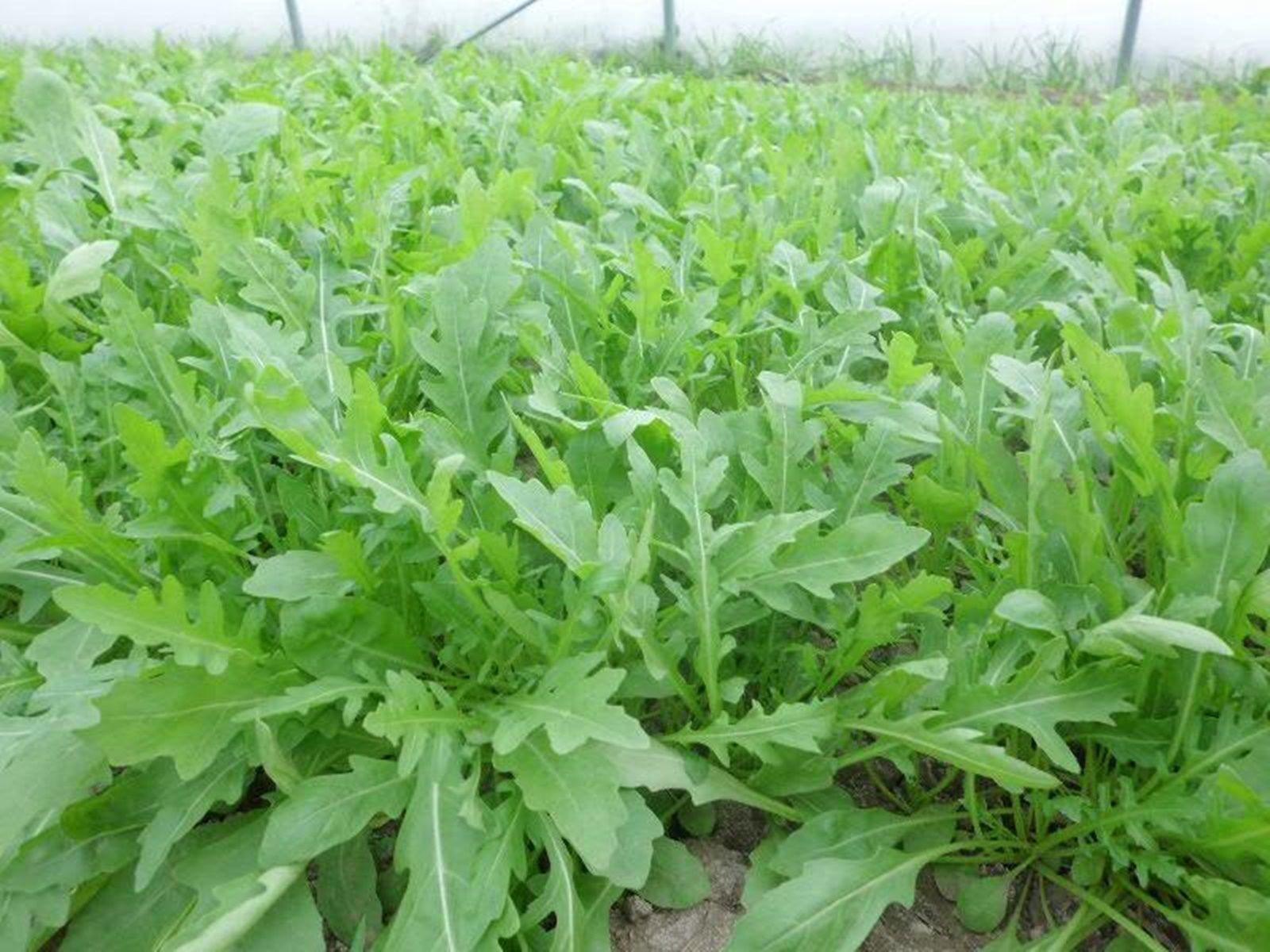 руккола салат выращивание в открытом грунте