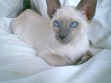 Siamese Cat Photo Gallery Suyaki Siamese Cattery