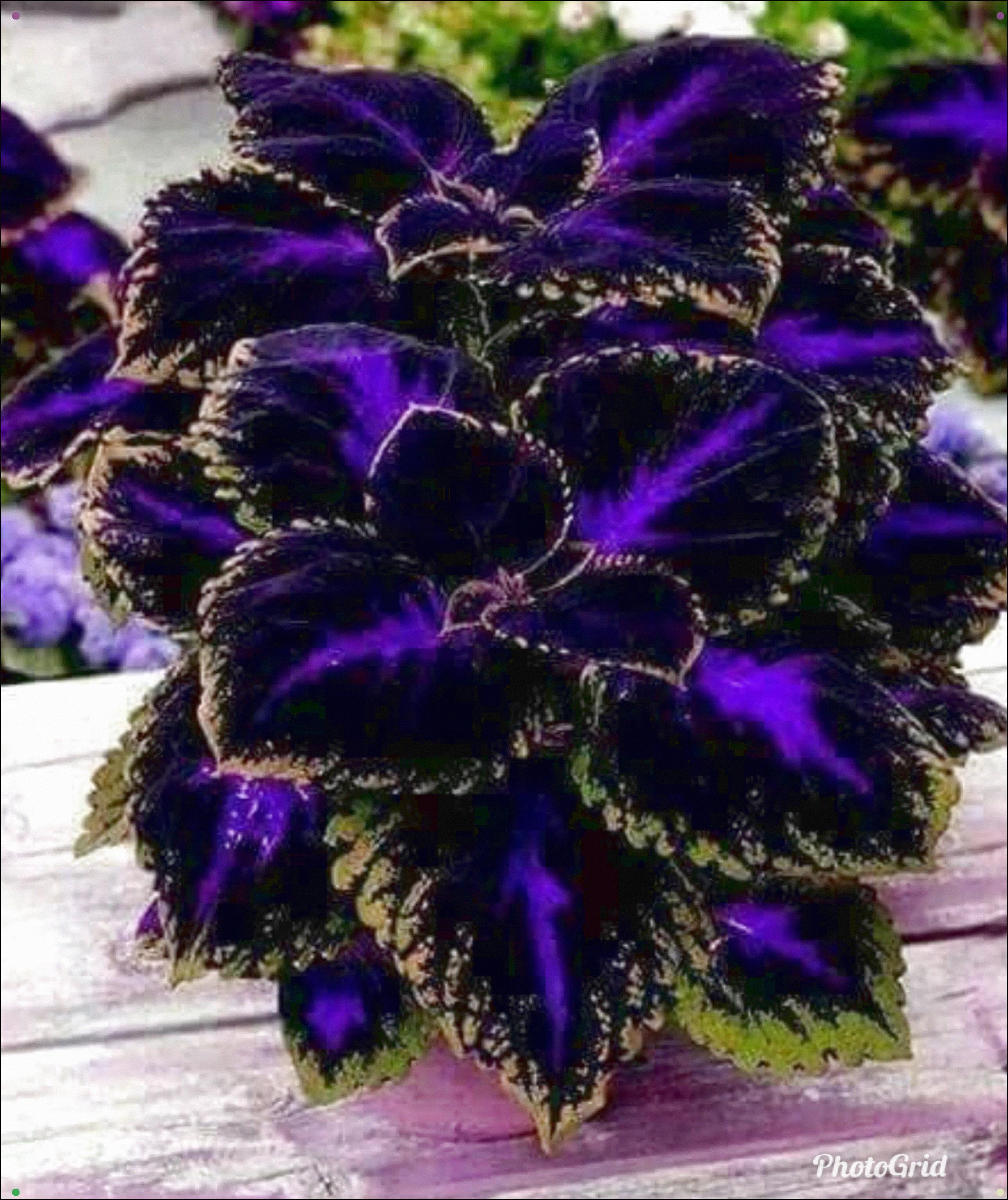 Purple Passion Coleus Flower Container Gardening Flowers Plants Shade Plants