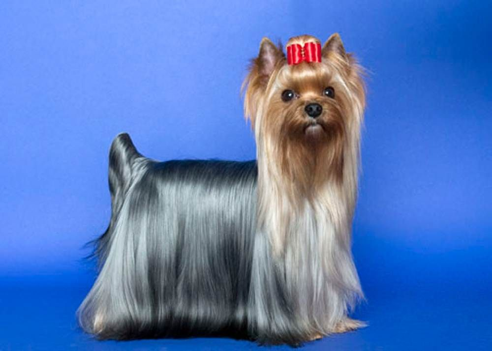 500 Error Yorkshire Terrier Top 10 Dog Breeds Yorkie Dogs