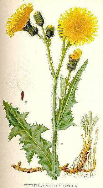 akker melkdistel Sonchus arvensis