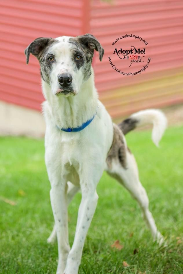 Adopt Hogan On Catahoula Leopard Dog Leopard Dog Shepherd Mix Dog