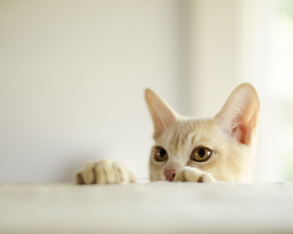 Portfolio Burmese cat, Cats and kittens, Kittens