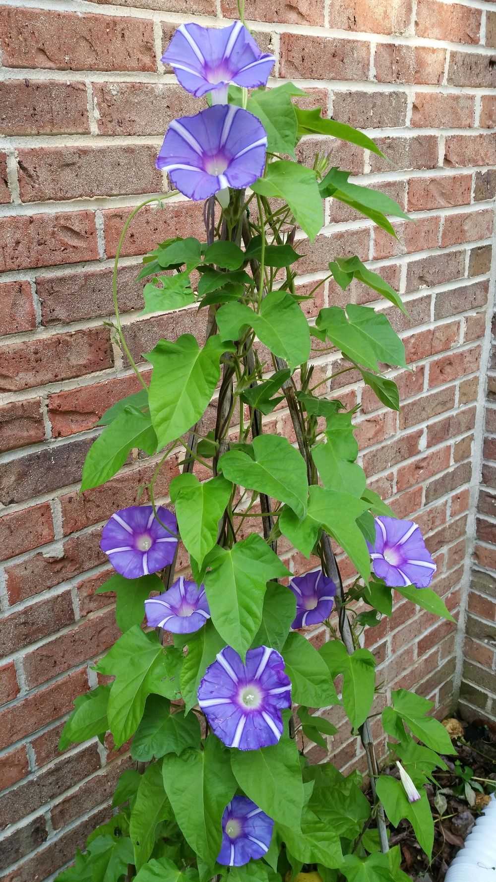 Photo Of The Entire Plant Of Morning Glory Ipomoea Mt Fuji No Monet Posted By Gerris2 National Gard Garden Vines Morning Glory Flowers Morning Glory Vine