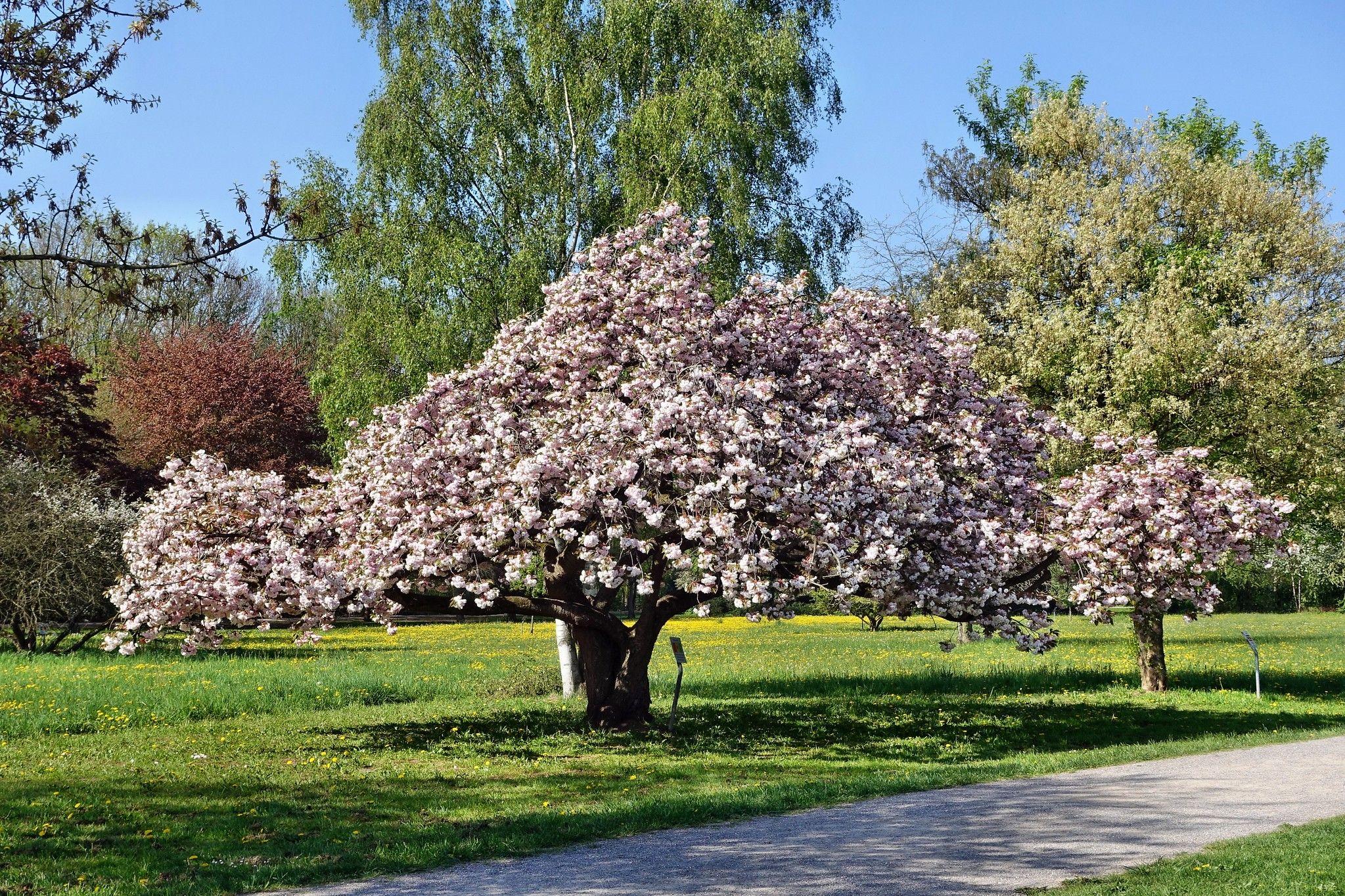 Okame Cherry Tree In 2021 Flowering Cherry Tree Fast Growing Trees Flowering Trees