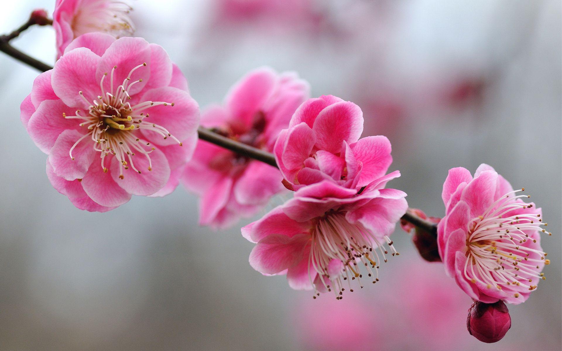 Pink Flowers Branch Jpg 960 600 Pixels