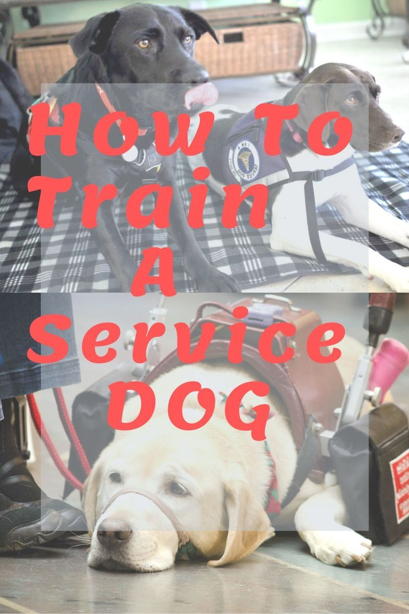 How To Train A Service Dog Service Dogs Dogs Service Dog Training