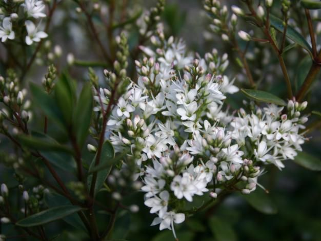 Plants shrubs hebe white paradise dwarf evergreen year of plants shrubs hebe white paradise dwarf evergreen mightylinksfo