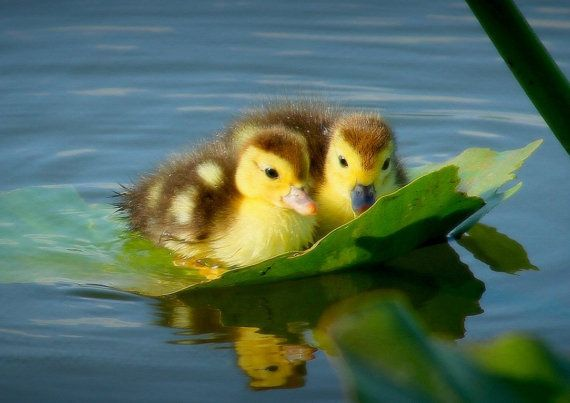 """Duckling on the right: """"Donald! I do hope we will NOT come to any grief; being carried downstream on this large leaf!"""" (Written By: Lynn Chateau. © June, 2015.)"""
