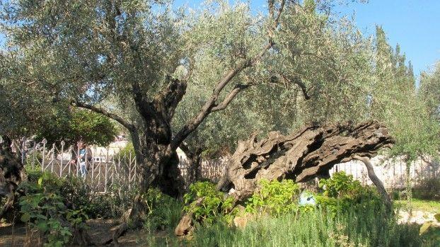Die Olivenbaume Im Garten Gethsemane In Jerusalem C Dpa Baum Bilder Baum Des Lebens