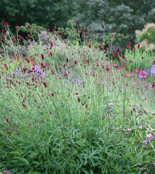Sanguisorba officinalis 39 red thunder 39 gardens gardens for Sanguisorba officinalis red thunder