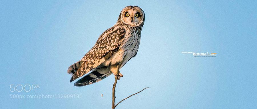 Short-eared owl : alone - Pinned by Mak Khalaf Animals D800TC-14EIIIbirdowl by buffclub