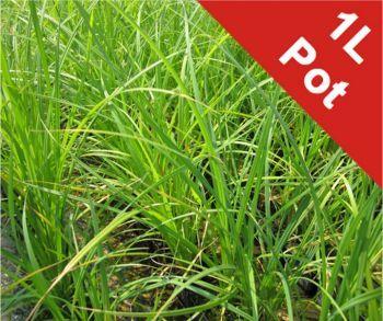 Photo of 1L Bowles' Golden Sedge Carex 'Acuta' £13.99