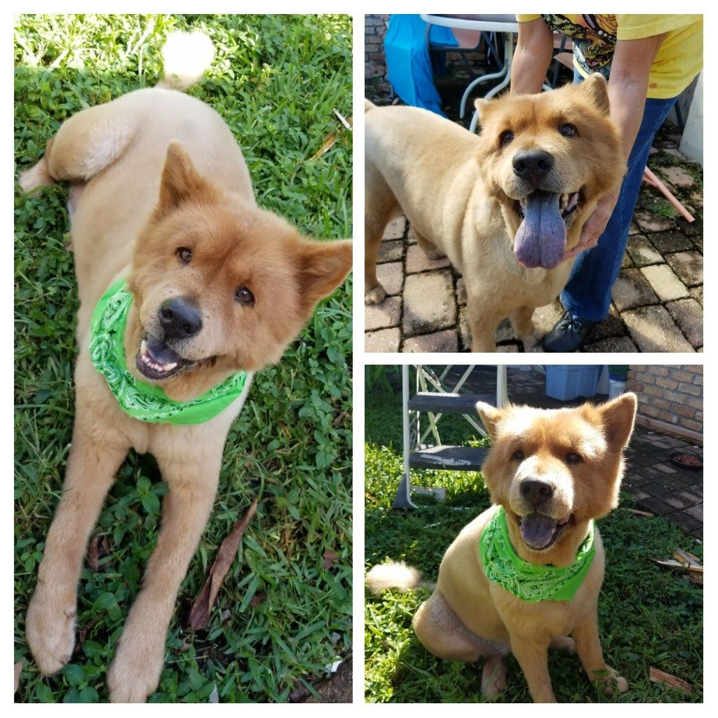 Chow Chow Dog For Adoption In Randallstown Md Adn 700531 On