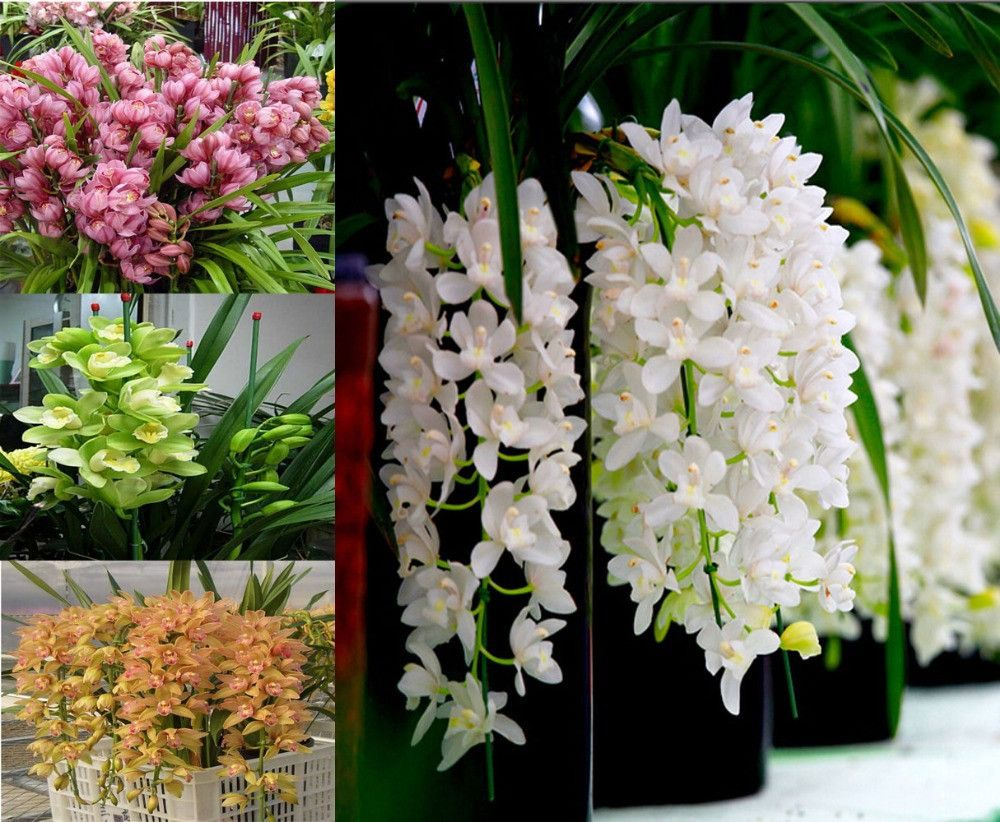 Pcspack kind diffenent butterfly orchid bonsai flowers orchid
