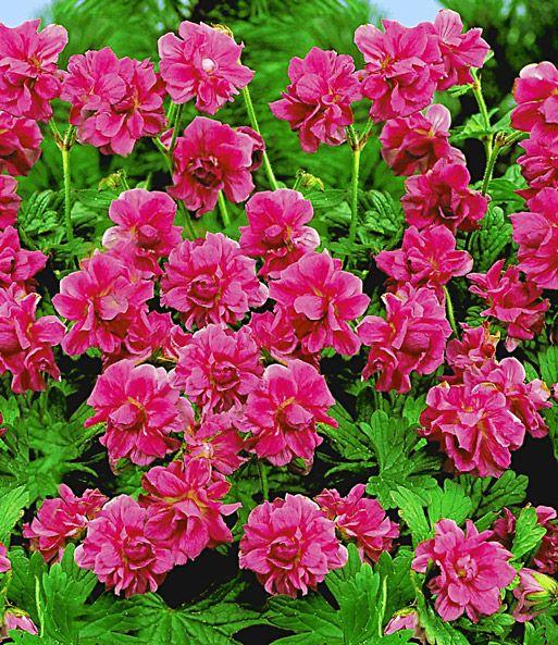 winterharte geranie 39 rote burcs double 39 garten geraniums geraniums garden und perennials. Black Bedroom Furniture Sets. Home Design Ideas