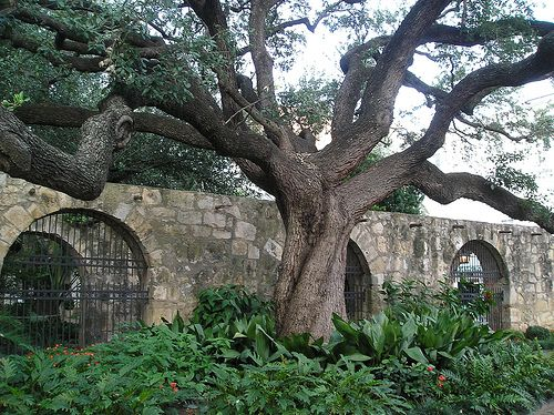 At Quot The Alamo Quot In San Antonio Texas Usa A Live Oak