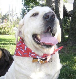 Lab Labrador Rescue Los Angeles Lab Rescue Lab Adoption Rescue Labrador Puppy Lab Rescue Pet Adoption