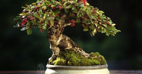 Liked On Pinterest Bonsai Arte Arvore Bonsai Bunga